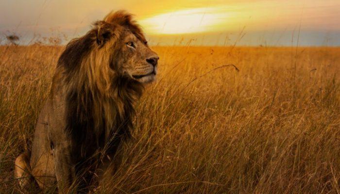 lions-sunset-768x432